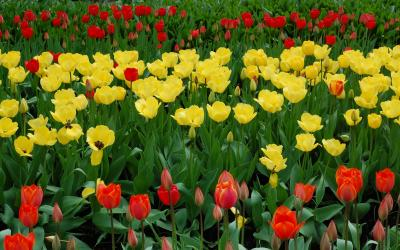 Burbiškio dvaro tulpės