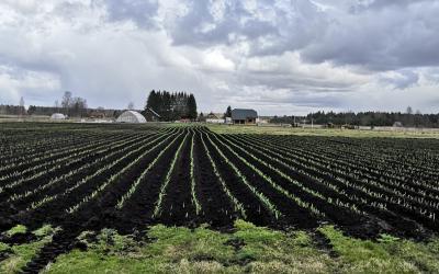 Česnakų ūkis